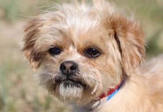 Shih Tzu/Yorkie, Yorkshire Terrier Mix Dog for adoption in Colorado Springs, Colorado - Siren
