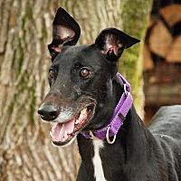 Adopt A Pet :: Diesel - Ware, MA