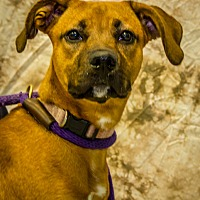 Adopt A Pet :: Dazzle - Martinsville, IN