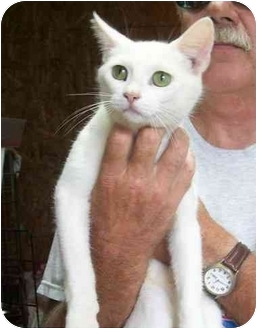 Domestic Shorthair Cat for adoption in Metamora, Indiana - Sugar