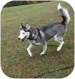 Husky Dog for adoption in Las Vegas, Nevada - NUNUK