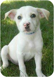 Collie Mix Puppy for adoption in Lancaster, Ohio - Gabby