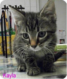 Domestic Shorthair Kitten for adoption in Ozark, Alabama - Kayla