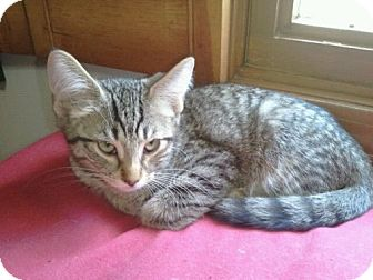 Domestic Shorthair Kitten for adoption in Grand Rapids, Michigan - Scorpio