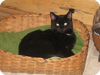 Domestic Shorthair Kitten for adoption in Huntsville, Ontario - Bandit - Born in August!