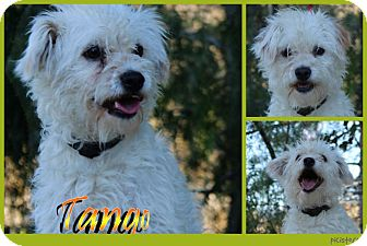 Poodle (Miniature) Mix Dog for adoption in Pittsburgh, Pennsylvania - Tango