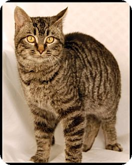 Domestic Shorthair Cat for adoption in Newland, North Carolina - Trapper