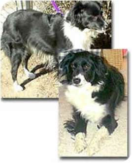 Border Collie Dog for adoption in Stephentown, New York - Shea
