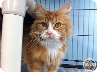 Domestic Longhair Cat for adoption in Eighty Four, Pennsylvania - Ruby