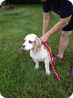 Cocker Spaniel Dog for adoption in Kannapolis, North Carolina - Mace -Courtesy Post/Need Home!