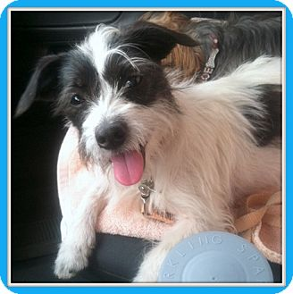 Terrier (Unknown Type, Small) Mix Dog for adoption in Glendale, Arizona - Biggie