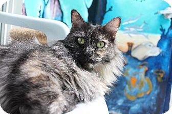 Domestic Longhair Cat for adoption in Newport Beach, California - Charlie