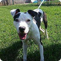 Adopt A Pet :: Gidget - nashville, TN