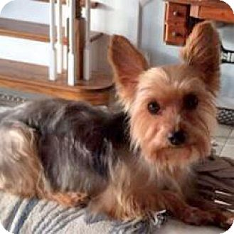 Yorkie, Yorkshire Terrier Dog for adoption in Ft Myers, Florida - Lexy