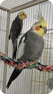 Cockatiel for adoption in Grandview, Missouri - Enrique