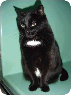 Domestic Shorthair Cat for adoption in Port Hope, Ontario - Carmen