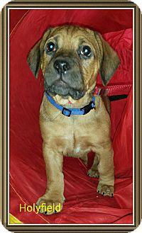 Boxer Mix Puppy for adoption in Cincinnati, Ohio - Holyfield