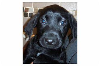 Labrador Retriever Mix Puppy for adoption in Pompton Lakes, New Jersey - Craig