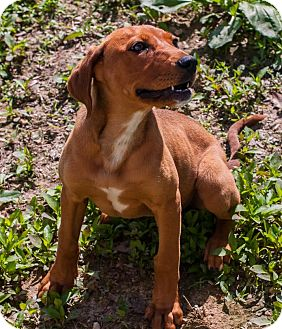 Redbone Coonhound Mix Dog for adoption in Londonderry, New Hampshire - Amber