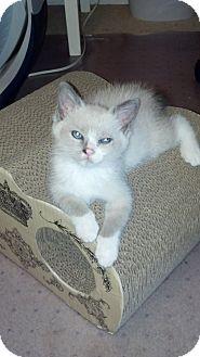 Siamese Kitten for adoption in Charlotte, North Carolina - Baby Sophia