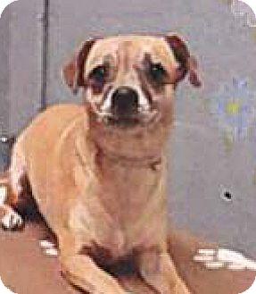 Chihuahua Mix Dog for adoption in Spokane, Washington - Queenie