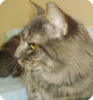 Maine Coon Cat for adoption in San Antonio, Texas - Beau