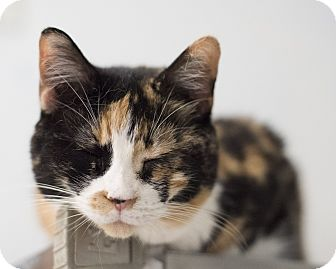 Domestic Shorthair Cat for adoption in Houston, Texas - Miracle