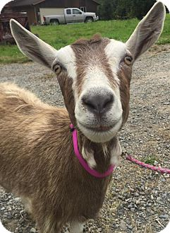 Goat for adoption in Maple Valley, Washington - Farrah