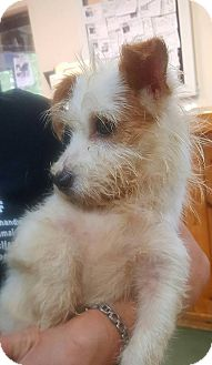 Jack Russell Terrier/Terrier (Unknown Type, Small) Mix Puppy for adoption in Mary Esther, Florida - Bevis