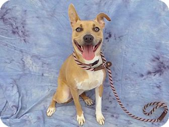 Pit Bull Terrier Mix Dog for adoption in Hawthorne, California - Tammy