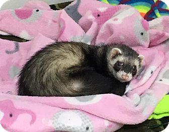 Ferret for adoption in Fawn Grove, Pennsylvania - Humprey