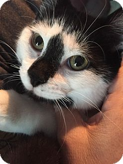 Domestic Shorthair Cat for adoption in Huntley, Illinois - Domino