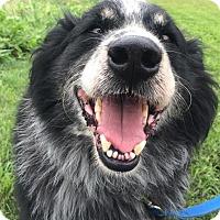 Anatolian Shepherd Mix Dog for adoption in Brunswick, Maine - Tack