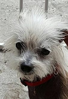 Chinese Crested/Terrier (Unknown Type, Small) Mix Dog for adoption in Santa Fe, Texas - Gizmo