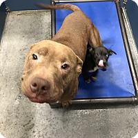 Adopt A Pet :: Diamond & Dazzle - Henderson, NC