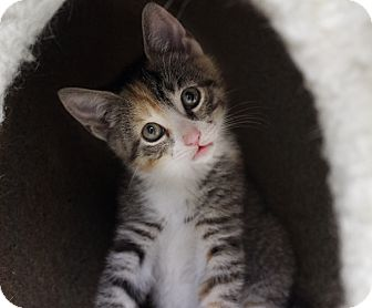 Calico Kitten for adoption in Wayne, New Jersey - Nellie