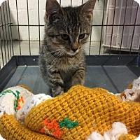 Adopt A Pet :: Ash - Stanton, MI