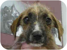 Border Terrier Mix Puppy for adoption in San Clemente, California - JOHNNY CAKE
