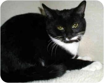 Domestic Shorthair Kitten for adoption in Troy, Michigan - Grasshopper