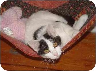 Domestic Shorthair Cat for adoption in Belton, Missouri - Lynette
