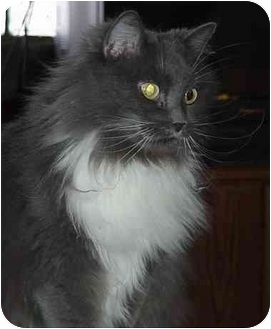 Domestic Longhair Cat for adoption in Chesapeake, Virginia - Sassy