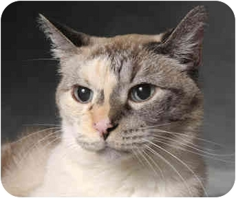 Siamese Cat for adoption in Chicago, Illinois - Wednesday