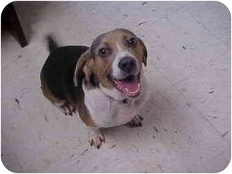 Beagle Dog for adoption in Wilmington, Delaware - jake