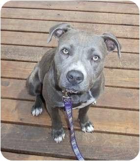 American Pit Bull Terrier Mix Dog for adoption in Salem, Oregon - Bella Blue