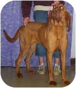 Bloodhound Dog for adoption in Murphysboro, Illinois - Arusha