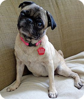 Pug Dog for adoption in Coral Springs, Florida - Alexis