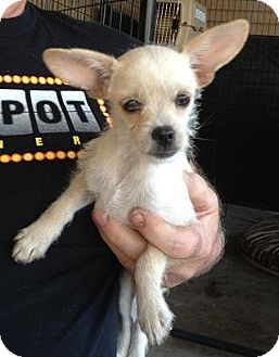Terrier (Unknown Type, Small)/Chihuahua Mix Puppy for adoption in Seattle, Washington - Blondie