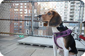Beagle Dog for adoption in New York, New York - Chauncey
