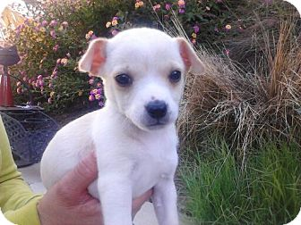 Chihuahua Puppy for adoption in Irvine, California - CHLOE, 2 Lbs!