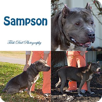 Pit Bull Terrier Dog for adoption in Union City, Tennessee - Sampson